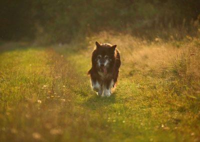 Šťastný pastiersky pes.